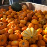 Munchkin Pumpkins at Farmer Copleys
