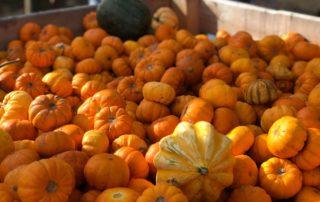 Munchkin Pumpkins at Farmer Copleys