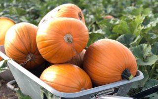 Farmer Copleys Pumpkins in a wheelbarrow.