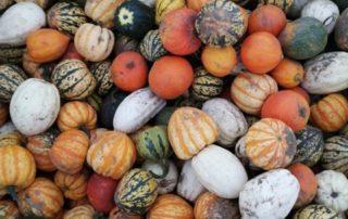 Different varieties of pumpkin at Farmer Copleys