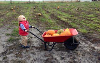 Child with wheelbarrow full of pumpkins.