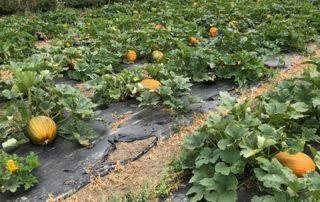 The pumpkins starting to grow at Farmer Copleys.